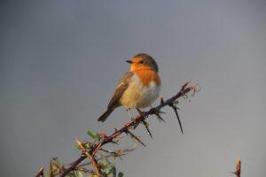 Firfefrost Robin